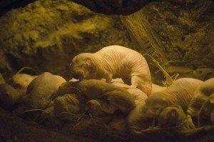 naked mole-rats